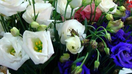 lisianthus russell, flowers, different