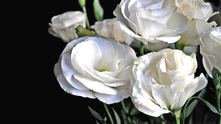 lisianthus russell, flowers, white