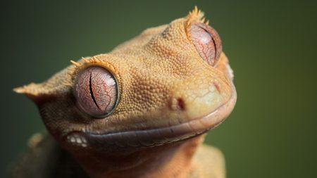 lizard, eyes, muzzle