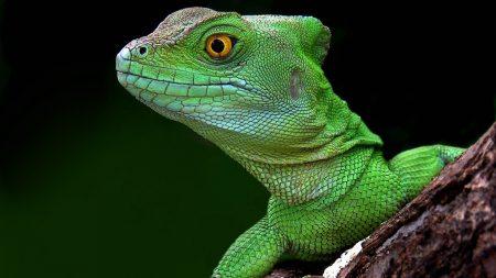 lizard, head, climb