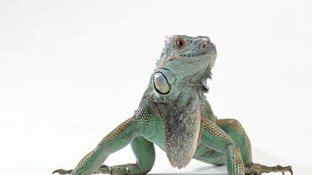 lizard, iguana, color