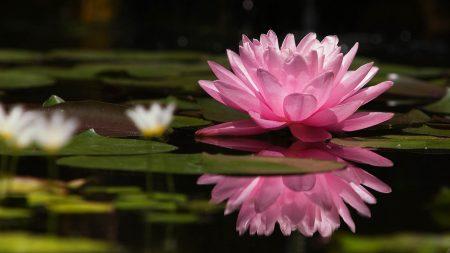lotus, flower, water lilies