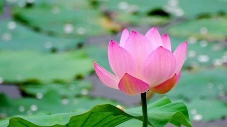 lotus, leaf, flower