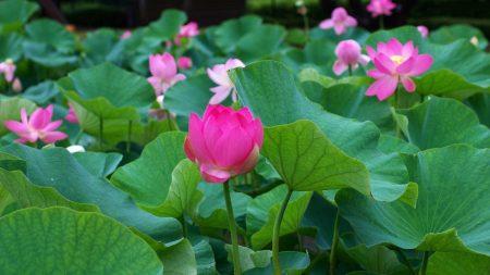 lotus, leaves, many
