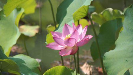 lotus, leaves, pond