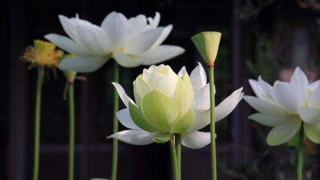lotus, petals, stems