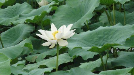 lotus, white, leaves