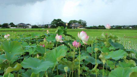 lotuses, herbs, water