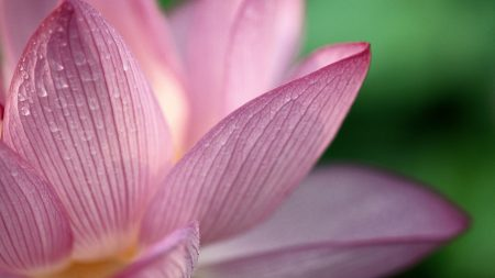 lower, pink, petals