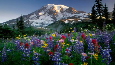 lupines, flowers, fields