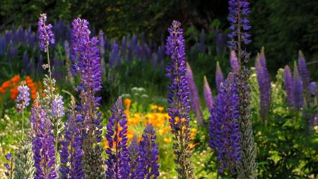 lupines, flowers, tall