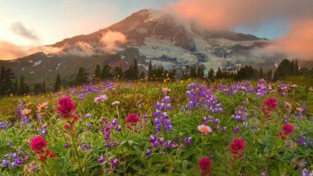lupines, flowers, various