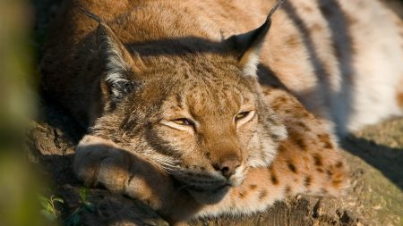lynx, down, spotted