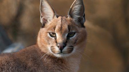 lynx, muzzle, predator