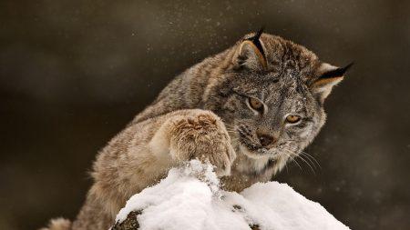 lynx, paw, snow