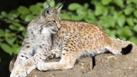 lynx, stone, lying