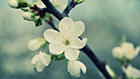 macro, flower, white