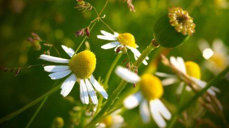 macro, flowers, daisy