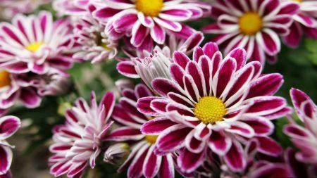 macro, flowers, red