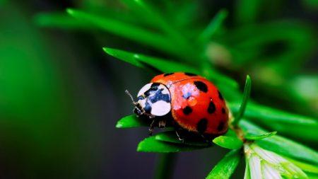 macro, insect, ladybird