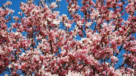 magnolia, bloom, sky