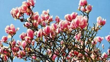 magnolia, blossoms, twigs