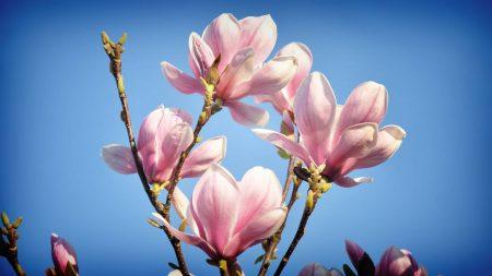 magnolia, branches, sky