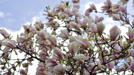magnolia, shrubs, flowering