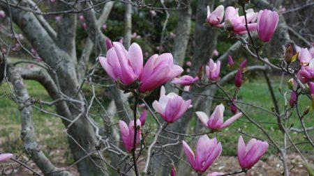 magnolia, twigs, tree