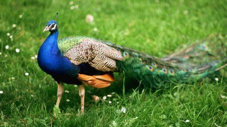 male, bird, peacock