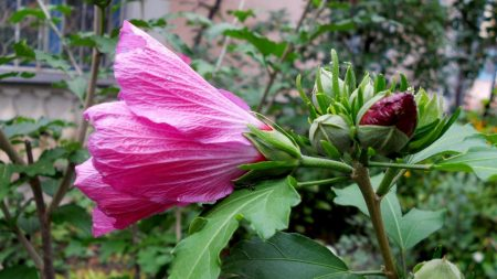 mallow, flower, bud