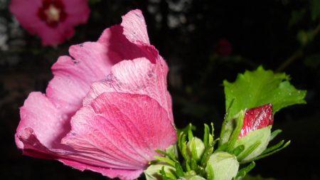 mallow, flower, buds