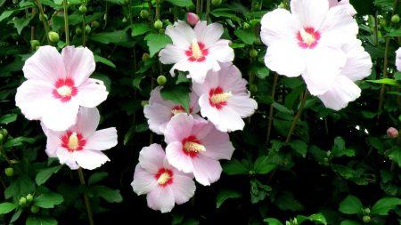 mallow, flowers, flowing