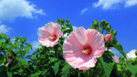 mallow, flowers, sky