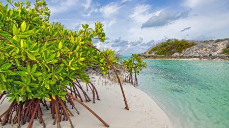 mangrove tree, sand, leaves