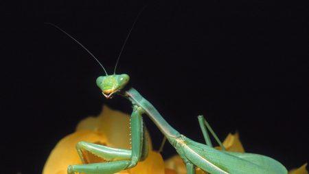 mantis, flower, sitting
