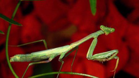 mantis, grass, flower
