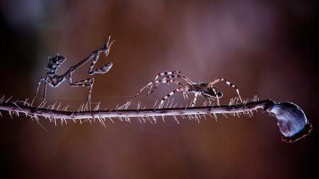 mantis, spider, branch