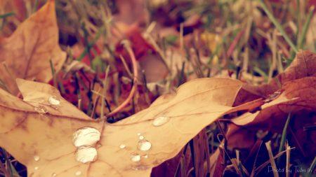 maple, leaf, grass