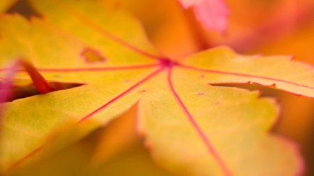 maple, leaf, line