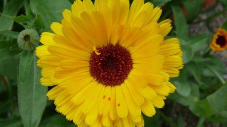marigold, flower, yellow