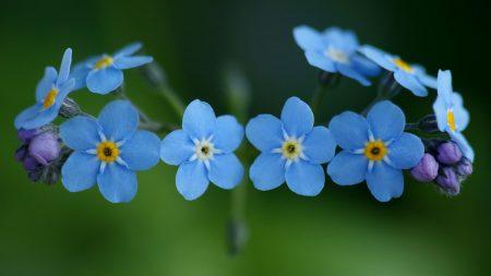 me-nots, flowers, blue