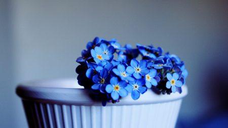 me-nots, flowers, pot
