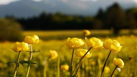 meadow, globe flower, blur