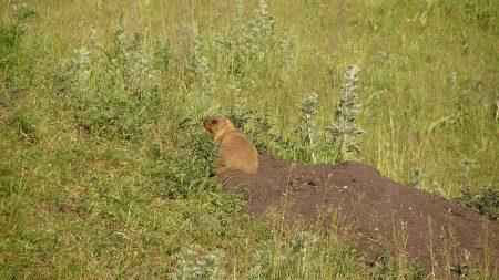 meerkat, hill, hunting