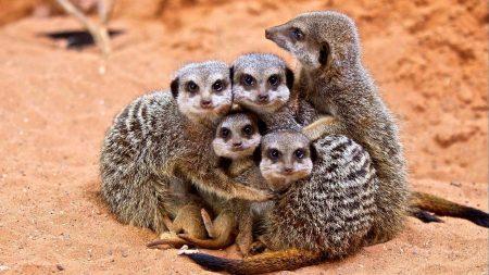 meerkats, family, cubs