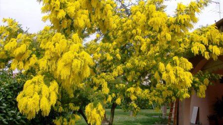 mimosa, tree, flower