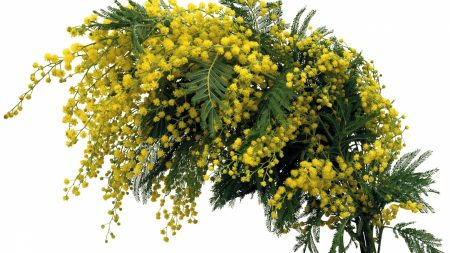 mimosa, twigs, spring