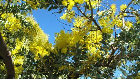 mimosa, woolly, bright
