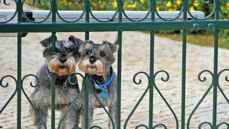 miniature schnauzer, dogs, couple